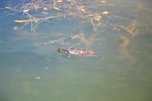 Korytnačky v jazierku Kimpi