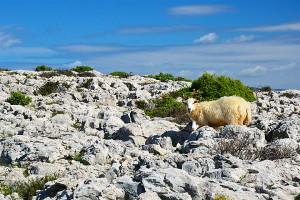 Ovce na ostrove Krk